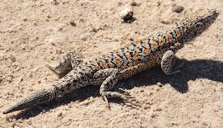 La lagartija de Fabían.