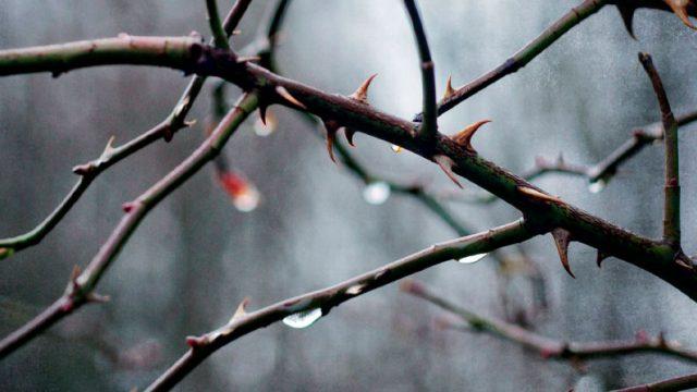ramas de un árbol con espinas y gotas de lluvia