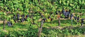 parron de uva